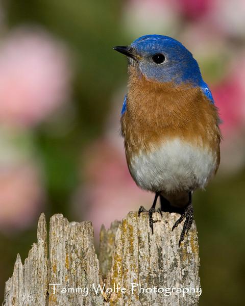 Eastern Bluebird (#1654)