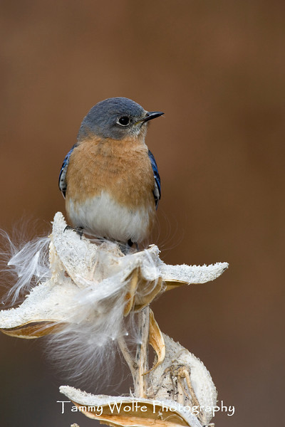 Eastern Bluebird (#1028)
