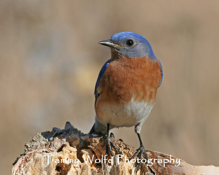 Eastern Bluebird (Photo #7500)