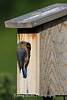 Female Eastern Bluebird Checking out a Nest Box (Photo #9443)