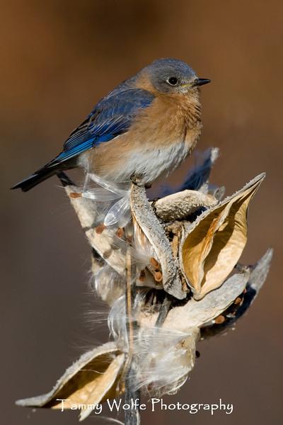 Eastern Bluebird Perched on Milkweed (#0807)
