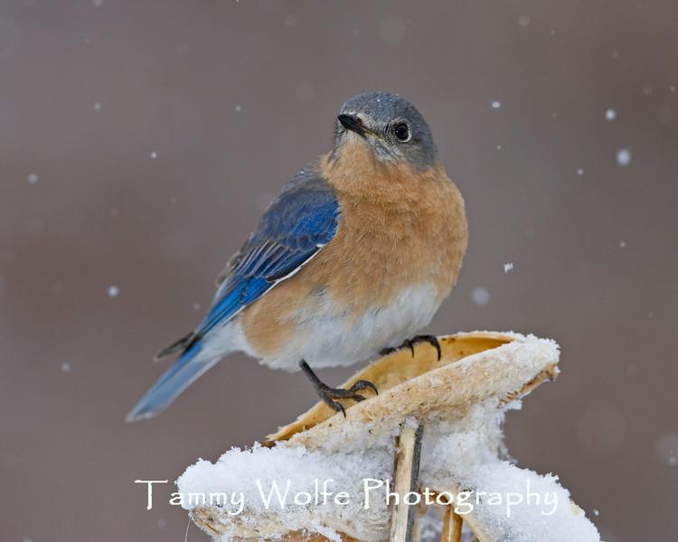 Eastern Bluebird with Snow Falling (#1260)