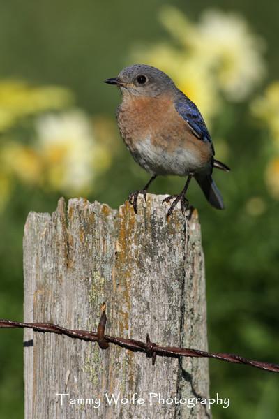 Female Eastern Bluebird (Photo #9950)