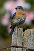 Female Eastern Bluebird on a Fence Post (#0224)