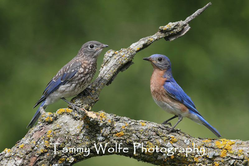 Eastern Bluebird (Sialia sialis), Adult Male with Fledgling