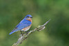 Male Eastern Bluebird (Sialia sialis)