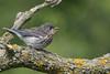 Eastern Bluebird (Sialia sialis) Fledgling