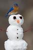 Eastern Bluebird (#1426)