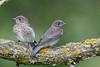 Eastern Bluebird (Sialia sialis)