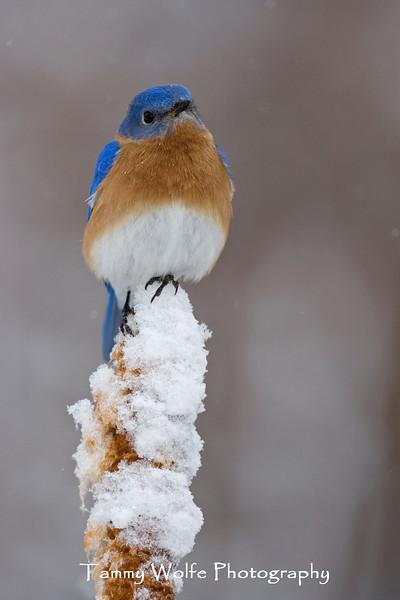 Eastern Bluebird (#1337)