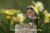 Female Eastern Bluebird (Photo #9947)