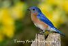 Eastern Bluebird (#1686)