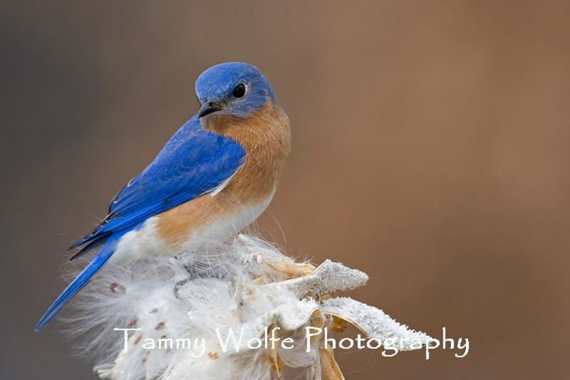 Eastern Bluebird (#1088)