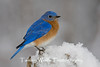 Eastern Bluebird Perched on a Snow-Covered Fence Post (#1170)