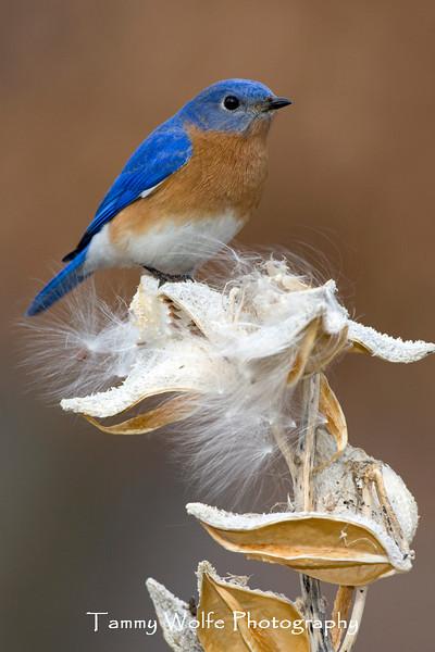 Eastern Bluebird (#1047)