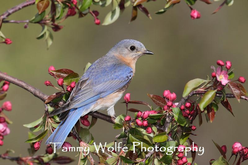 Eastern Bluebird (Sialia sialis) on a Crabapple Tree