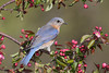 Eastern Bluebird (Sialia sialis) on a Crabapple Tree