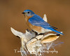 Eastern Bluebird (#0966)
