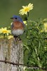Eastern Bluebird (Photo #9716)