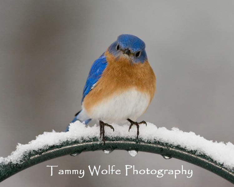 Eastern Bluebird Perching (#1181)