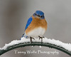 Eastern Bluebird Perching (#1181)