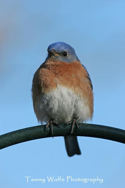 Eastern Bluebird (Photo #6525)