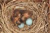 Eastern Bluebird Babies (Sialia sialis), Inside a Nest box