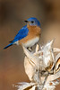 Eastern Bluebird (#0753)