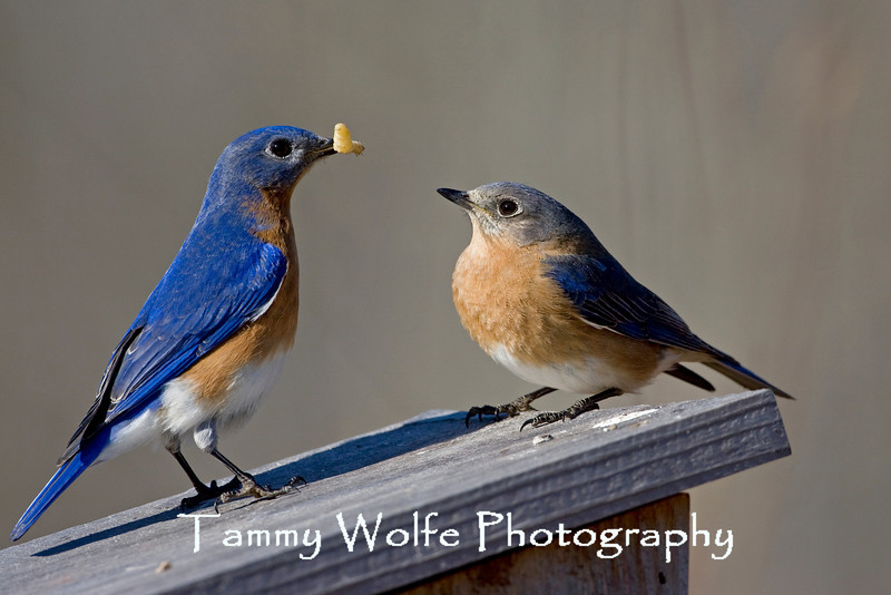 Eastern Bluebird Pair (#1698)