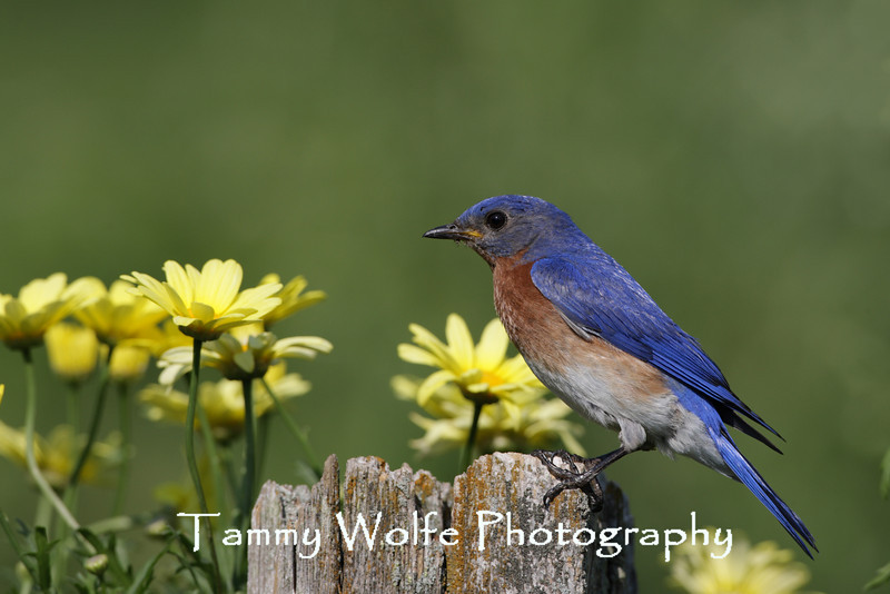 Eastern Bluebird on an old Fence Post (Photo #9490)