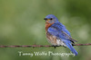 Eastern Bluebird on Barbed Wire (Photo #9454)
