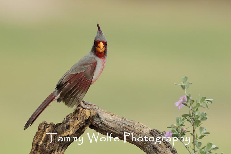 Pyrrhuloxia or Desert Cardinal (Cardinalis sinuatus)