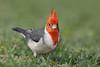 Red-crested Cardinal (Paroaria coronata)