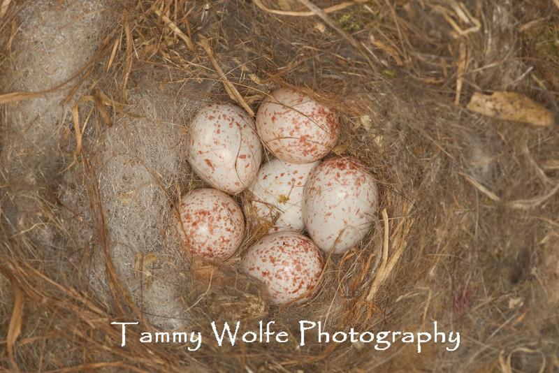 Black-Capped Chickadee (Poecile atricapilla) Nest