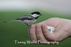 Hand-feeding a Black-Capped Chickadee