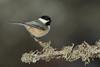 Black-Capped Chickadee - Poecile atricapilla