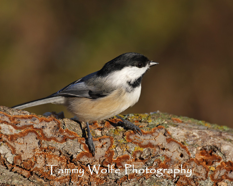 Black-Capped Chickadee (Photo #2492)