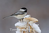 Black-Capped Chickadee (#1206)