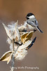 Black-Capped Chickadee (#0821)