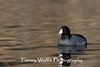 American Coot (#0217)