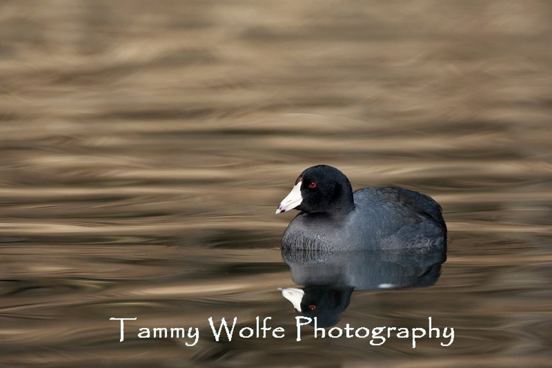 American Coot (#0182)