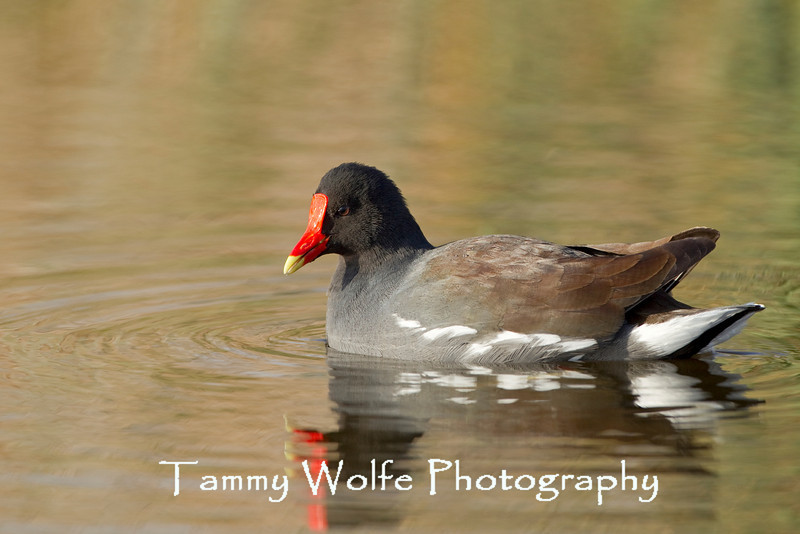 Common Moorhen, or Common Gallinule, (Gallinula chloropus)