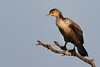 Double-crested Cormorant (Phalacrocorax auritus)