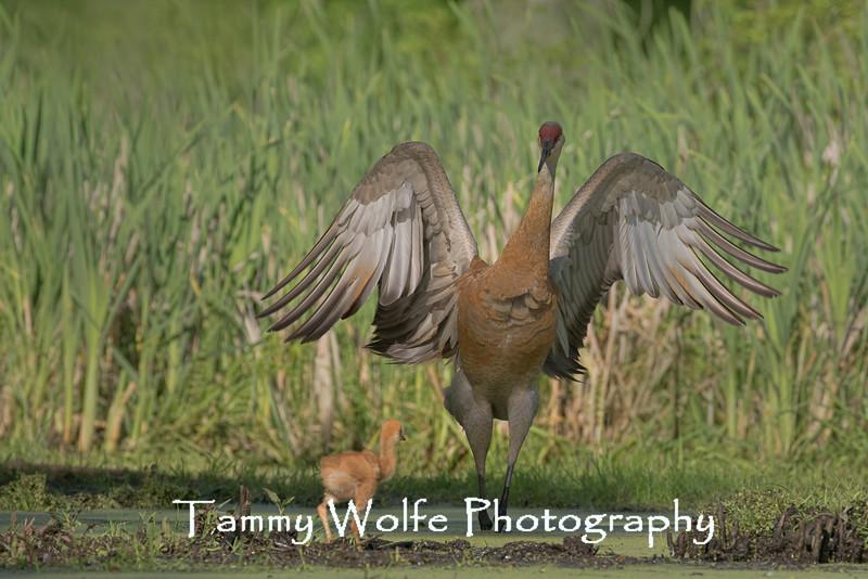 Sandhill Crane (Grus canadensis)