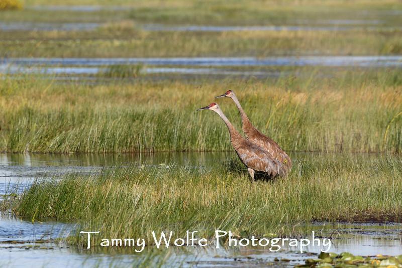 Sandhill Crane (Grus canadensis), Grantsburg, Wisconsin