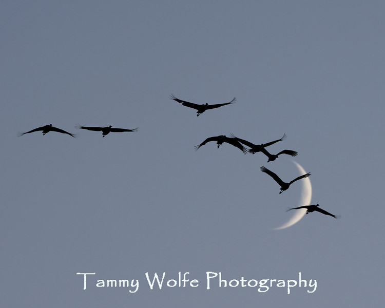 Sandhill Crane Silhouettes with Moon