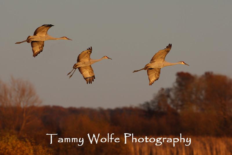 Sandhill Cranes Landing at Crex Meadows