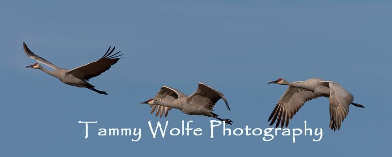 Sandhill Cranes (Grus canadensis) in Flight