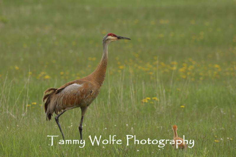 Sandhill Crane (Adult and Colt)