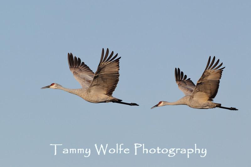 Sandhill Crane (Grus canadensis), Crex Meadows, Grantsburg, Wisconsin